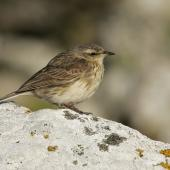 New Zealand pipit. Adult Antipodes Island pipit. Antipodes Island, December 2009. Image © David Boyle by David Boyle
