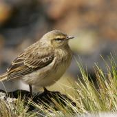 New Zealand pipit. Juvenile Antipodes Island pipit. Antipodes Island, February 2011. Image © David Boyle by David Boyle