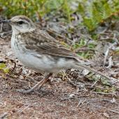 New Zealand pipit. Chatham Island pipit. Chatham Islands, December 2010. Image © Duncan Watson by Duncan Watson