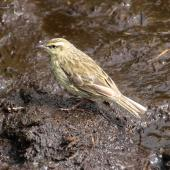 New Zealand pipit. Adult Auckland Island pipit. Campbell Island, December 2013. Image © John Fennell by John Fennell