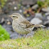 New Zealand pipit. Auckland Island pipit. Enderby Island, January 2010. Image © John Woods by John Woods