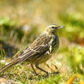 New Zealand pipit. Adult, ssp aucklandicus, Auckland Island pipit. Enderby Island,  Auckland Islands, January 2018. Image © Mark Lethlean by Mark Lethlean