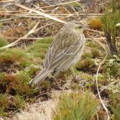 New Zealand pipit. Auckland Island pipit adult. Campbell Island, January 2006. Image © Colin Miskelly by Colin Miskelly