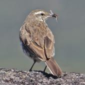 New Zealand pipit. Adult eating blowfly. Ruapehu 2000 m, February 2013. Image © John Flux by John Flux