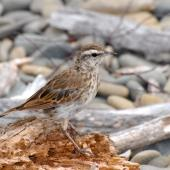 New Zealand pipit. Juvenile showing wingbar markings. Kapiti Island, February 2007. Image © Peter Reese by Peter Reese