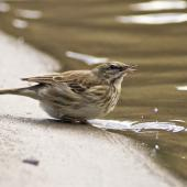 New Zealand pipit. Adult drinking. Anawhata, Auckland. Image © Eugene Polkan by Eugene Polkan