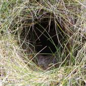 New Zealand pipit. Auckland Island pipit nest entrance in grassy tussock. Enderby Island, Auckland Islands, January 2007. Image © Ian Armitage by Ian Armitage
