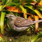 New Zealand pipit. Auckland Island pipit. Enderby Island, Auckland Islands, January 2007. Image © Ian Armitage by Ian Armitage