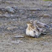 New Zealand pipit. Dust bathing. Tapotupotu Bay, April 2011. Image © Raewyn Adams by Raewyn Adams