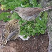 New Zealand pipit. Antipodes Island adult (above) and fledgling. Antipodes Island, February 2009. Image © Mark Fraser by Mark Fraser