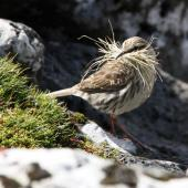 New Zealand pipit. Adult Auckland Island pipit gathering nest material. Ewing Island, Auckland Islands, November 2009. Image © Kate Beer by Kate Beer