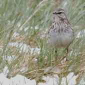 New Zealand pipit. Adult in snow. Cascade Creek, November 2011. Image © Glenda Rees by Glenda Rees http://www.flickr.com/photos/nzsamphotofanatic/