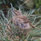 New Zealand pipit. Antipodes Island pipit adult. Antipodes Island, March 2009. Image © Mark Fraser by Mark Fraser