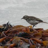 New Zealand pipit. Chatham Island adult foraging among kelp. Waitangi West, Chatham Island, January 2011. Image © Alan Tennyson by Alan Tennyson