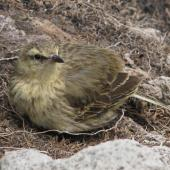 New Zealand pipit. Juvenile Auckland Island pipit. Campbell Island, December 2010. Image © Cheryl Pullar by Cheryl Pullar