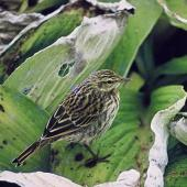 New Zealand pipit. Auckland Island adult showing back. Adams Island, Auckland Islands. Image © Department of Conservation (image ref: 10040174) by John Atkinson Courtesy of Department of Conservation