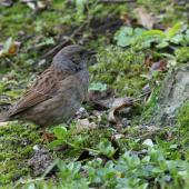 Dunnock. Adult foraging in undergrowth. Botanical Gardens, Napier, September 2012. Image © Adam Clarke by Adam Clarke