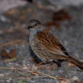 Dunnock. Adult. Christchurch, December 2006. Image © Peter Reese by Peter Reese