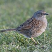 Dunnock. Adult. Kaikoura, August 2011. Image © Philip Griffin by Philip Griffin Philip Griffin © 2011