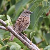 Dunnock. Adult. Tasman Bay, November 2013. Image © Rob Lynch by Rob Lynch