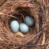 Dunnock. Nest and eggs. Marlborough. Image © James Murray by James Murray