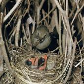 Dunnock. Adult at nest containing chicks. . Image © Department of Conservation (image ref: 10036488) by Mike Soper, Department of Conservation Courtesy of Department of Conservation