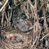 Dunnock. Adult at nest containing chicks. . Image © Department of Conservation (image ref: 10032219) by Mike Soper, Department of Conservation Courtesy of Department of Conservation