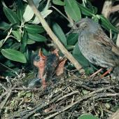Dunnock. Adult at nest containing chicks. , January 1990. Image © Peter Reese by Peter Reese
