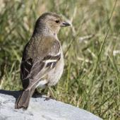 Chaffinch. Adult female from behind. Routeburn roadend, Mt Aspiring National Park, November 2015. Image © Ron Enzler by Ron Enzler http://www.therouteburntrack.com