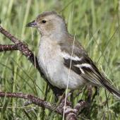 Chaffinch. Adult female. Routeburn roadend, Mt Aspiring National Park, November 2015. Image © Ron Enzler by Ron Enzler http://www.therouteburntrack.com