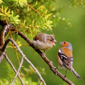 Chaffinch. Fledgling (left) being fed by adult male. Palmerston North, November 2014. Image © Alex Scott by Alex Scott