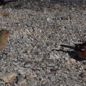 Chaffinch. Pair. Queenstown, February 2008. Image © Peter Reese by Peter Reese