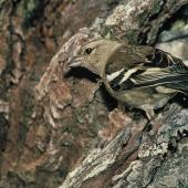 Chaffinch. Adult female. . Image © Department of Conservation by Mike Soper Courtesy of Department of Conservation
