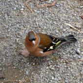 Chaffinch. Adult male. Christchurch, July 2011. Image © James Mortimer by James Mortimer