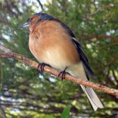 Chaffinch. Adult male. Golden Bay, November 2010. Image © James Mortimer by James Mortimer