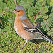 Chaffinch. Adult male. Te Awanga, July 2010. Image © Dick Porter by Dick Porter