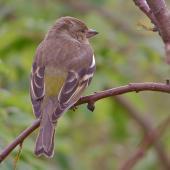 Chaffinch. Adult female. Lower Hutt, October 2010. Image © John Flux by John Flux