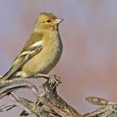 Chaffinch. Adult female. Te Awanga, May 2012. Image © Dick Porter by Dick Porter
