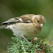 Chaffinch. Adult female. Kaikoura, August 2011. Image © Neil Fitzgerald by Neil Fitzgerald www.neilfitzgeraldphoto.co.nz