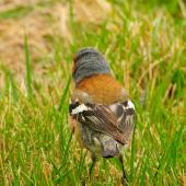 Chaffinch. Adult male - back view. Lake Ohau, October 2012. Image © Albert Aanensen by Albert Aanensen