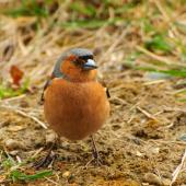 Chaffinch. Adult male - front view. Lake Ohau, October 2012. Image © Albert Aanensen by Albert Aanensen