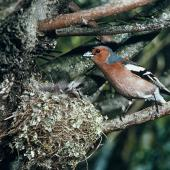 Chaffinch. Adult male at nest containing eggs. , February 1986. Image © Department of Conservation (image ref: 10031365) by T. Smith Courtesy of Department of Conservation