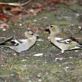 Chaffinch. Female and juvenile. Havelock North, November 2008. Image © Dick Porter by Dick Porter