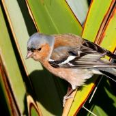 Chaffinch. Adult male. Te Awanga, Hawke's Bay, July 2011. Image © Dick Porter by Dick Porter