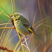 European greenfinch. Adult female. Whangamata, December 2014. Image © Les Feasey by Les Feasey