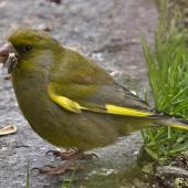 European greenfinch. Adult male eating seed. Atawhai,  Nelson, September 2015. Image © Rebecca Bowater by Rebecca Bowater FPSNZ AFIAP www.floraandfauna.co.nz