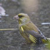 European greenfinch. Adult male bathing. Christchurch Botanic Gardens, May 2014. Image © Steve Attwood by Steve Attwood http://www.flickr.com/photos/stevex2/