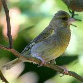 European greenfinch. Female. Wanganui, February 2008. Image © Ormond Torr by Ormond Torr