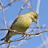 European greenfinch. Adult female. Atawhai,  Nelson, August 2015. Image © Rebecca Bowater by Rebecca Bowater FPSNZ AFIAP www.floraandfauna.co.nz