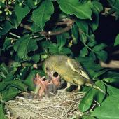 European greenfinch. Adult male feeding chicks in nest. . Image © Department of Conservation (image ref: 10037580) by Mike Soper Courtesy of Department of Conservation